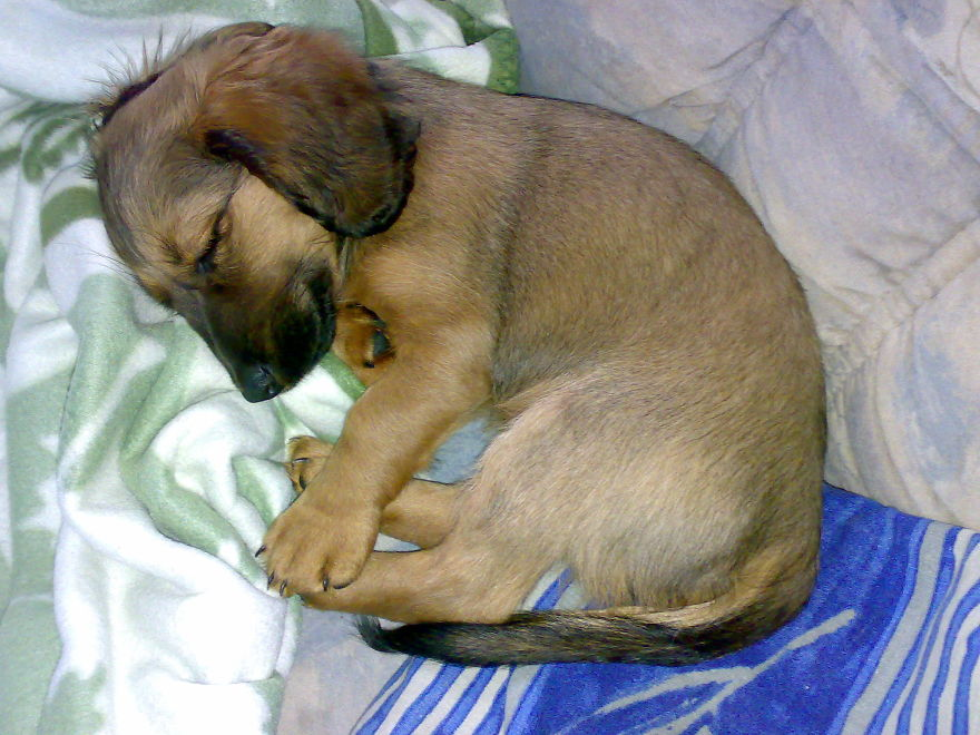 Emma - Dachshund 10 Weeks Old