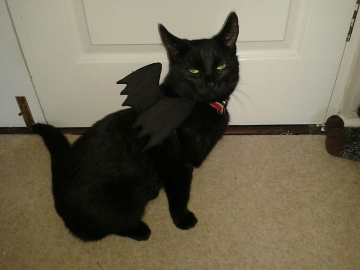Cat Is How To Train Your Dragon, Toothless