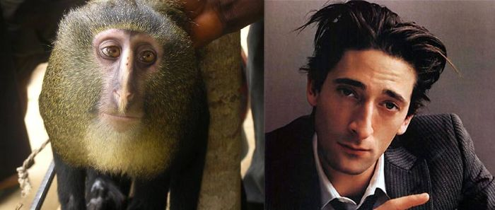 Who Is Cuter? The Lesula Monkey Or Adrien Brody.