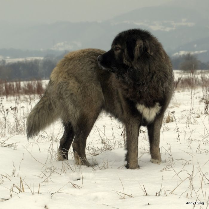 Siva - Heart Caucasian Shepherd Dog From Slovakia