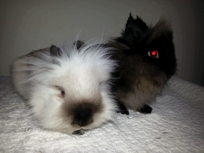 Lionhead Rabbits- Charlie & Lucy