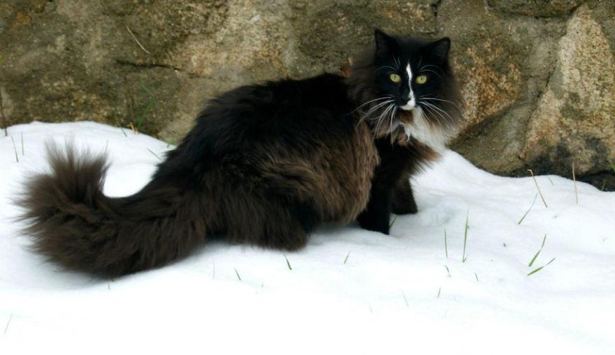 Timor: Norwegian Forest Cat.