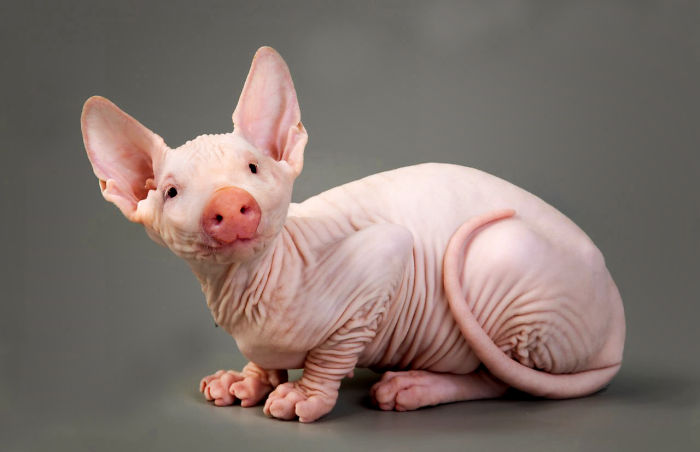 Hairless Pit