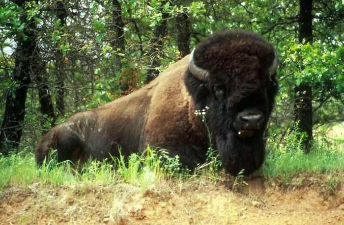 The Magnificent American Bison