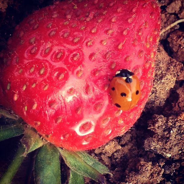 Lady Bug On Strawberry. Maya Shekel