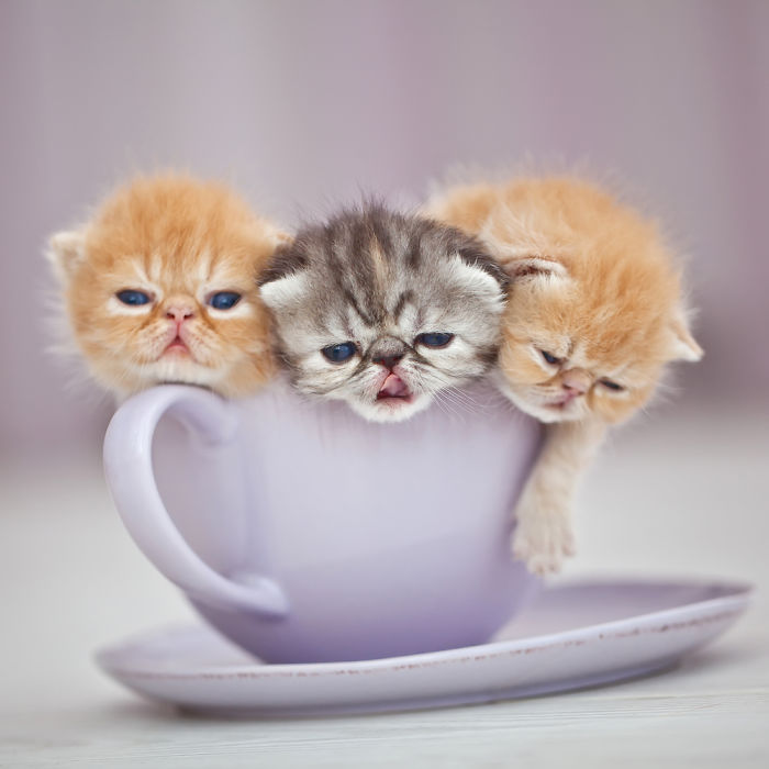 ===Dentro de una taza=== Cuteness-Explosion-Animals-In-Cups35__700
