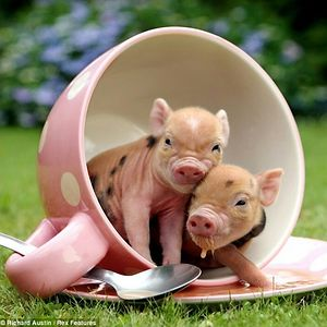 Piglets In A Cup