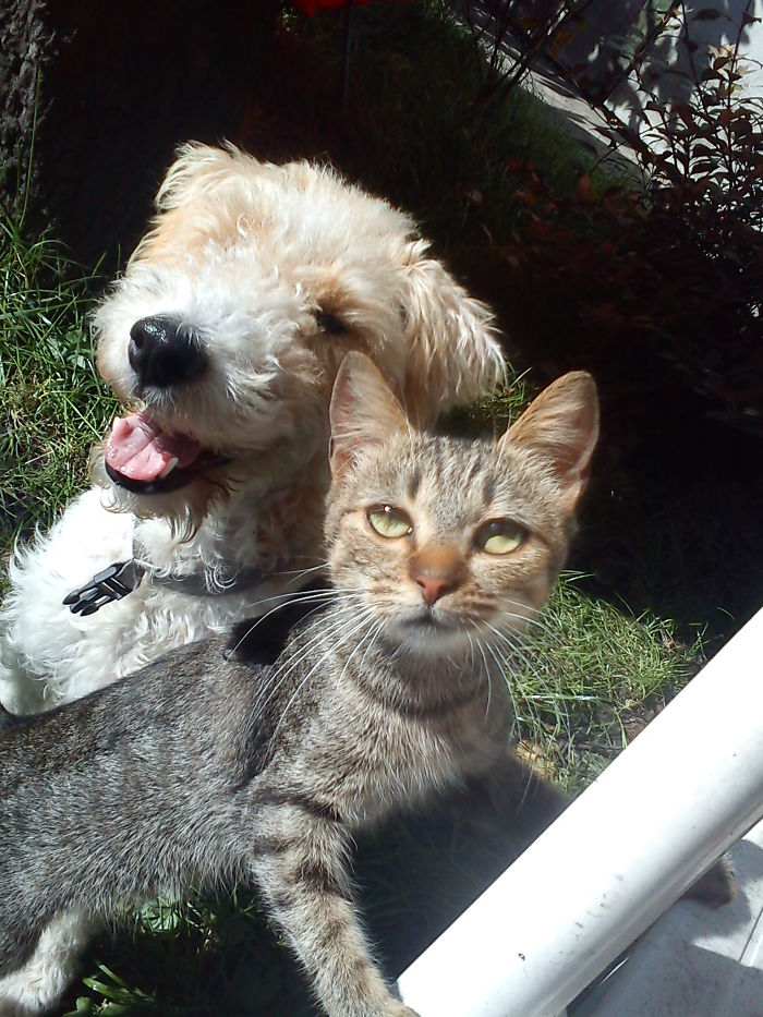 Rozi The Foxterrier And Mici The Cat - Mission Impossible