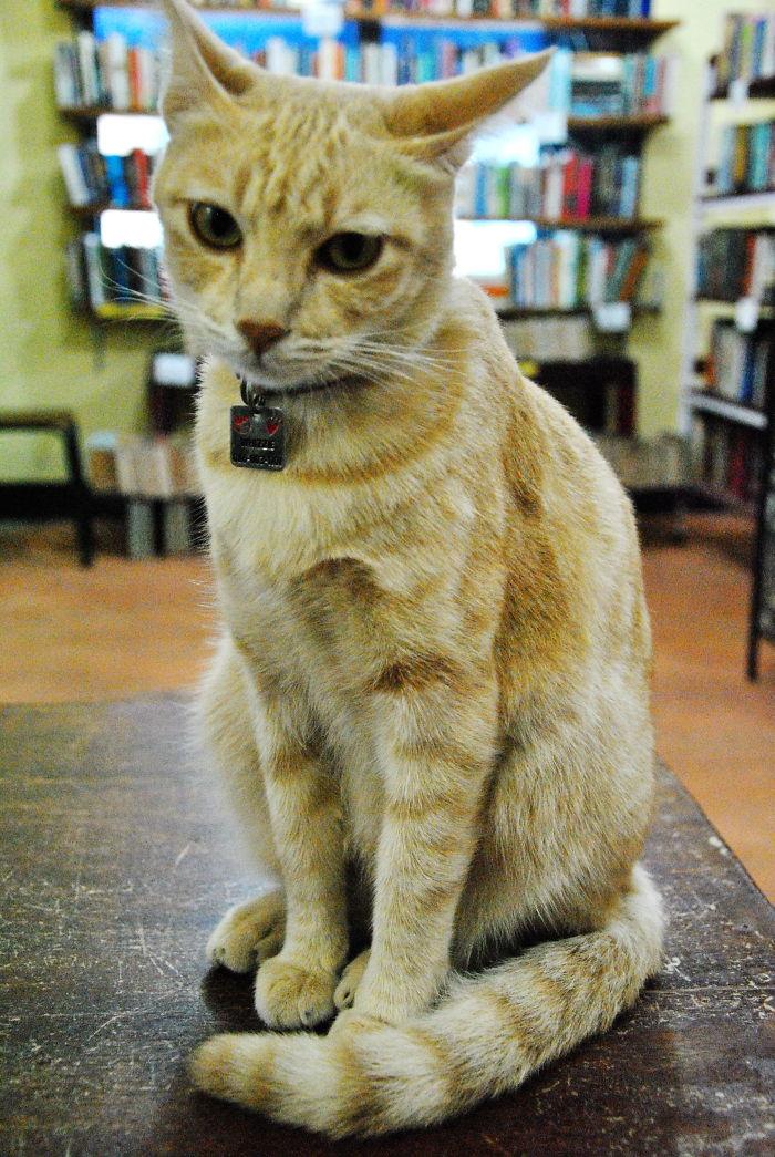 Whizzie The Bookshop Cat