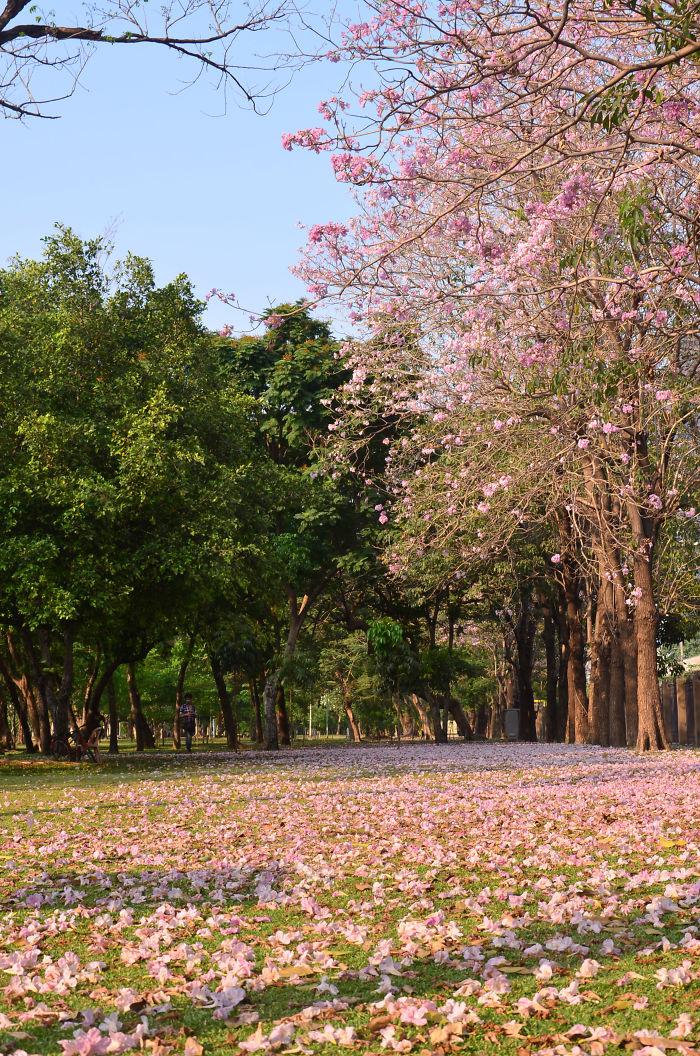 Chompoo Pantip Tree, Thailand