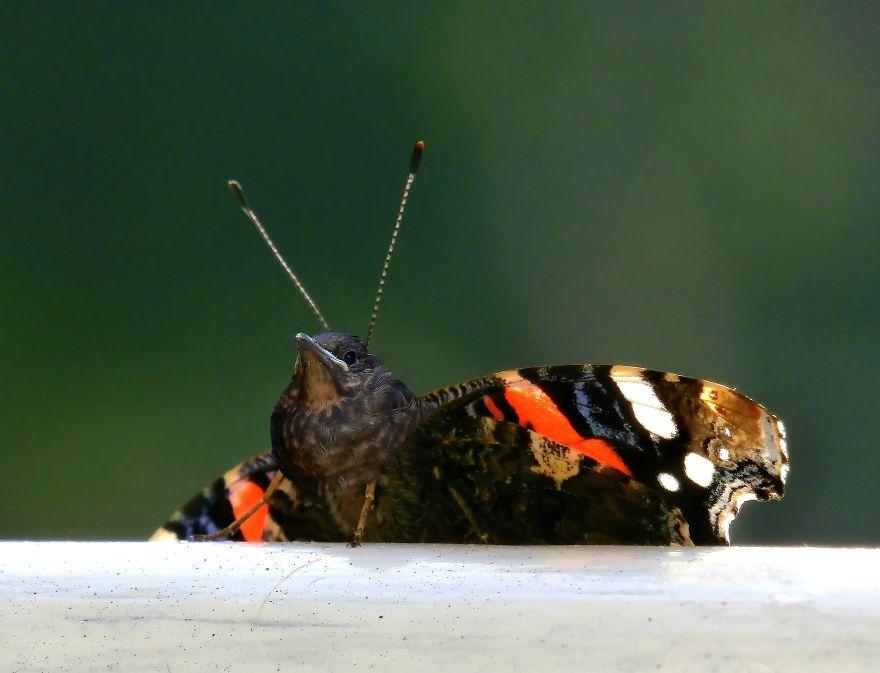 Butterflybird