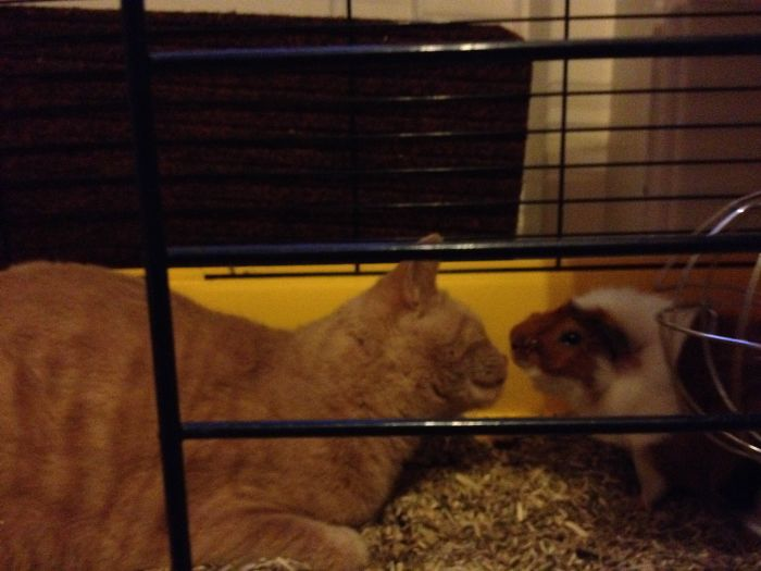 Tony The Cat And Coco The Guinea Pig