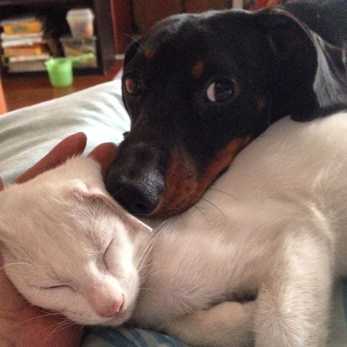 Chico The Dachsund And Puspap The Kitten