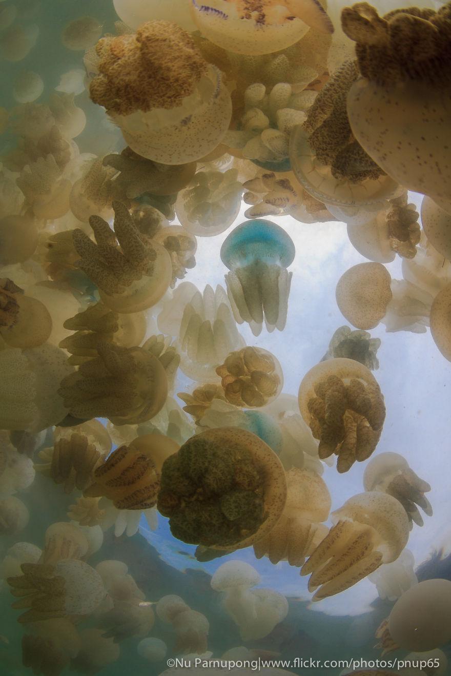 Jellyfish Phenomenon In Thailand