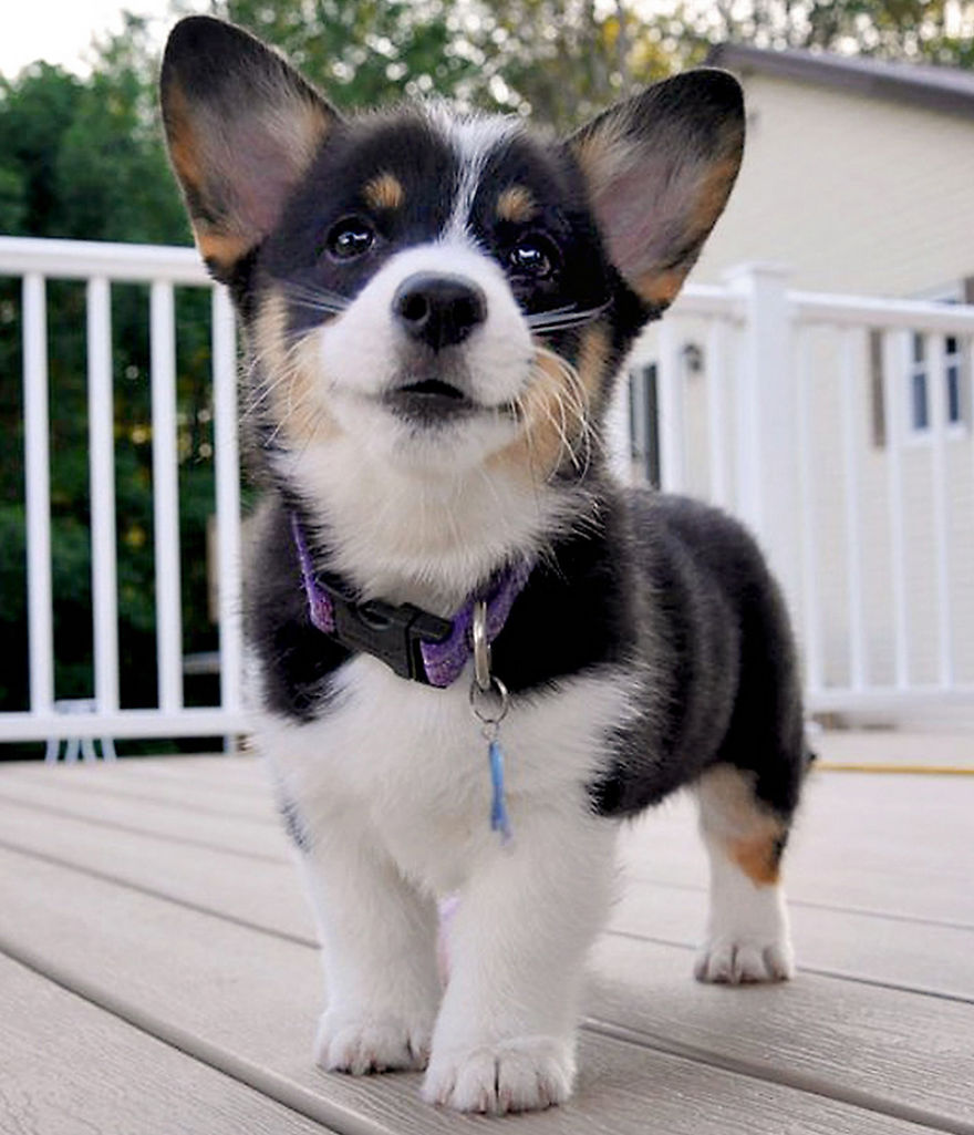 Maggie (tri Colored Pembroke Welsh Corgi) When She Was 11 Weeks Old