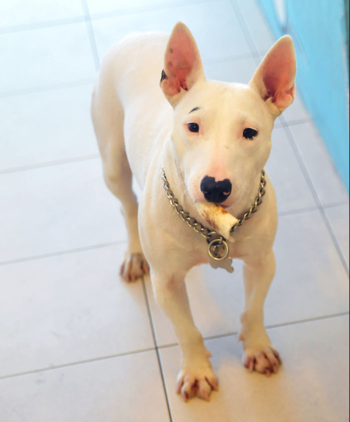 Milly, The Miniature English Bull Terrier Has An Eye Brow And A Heart-shaped Nose.