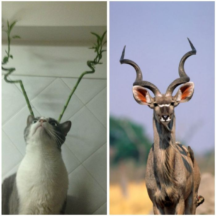 Horned Cat That Looks Like A Kudu