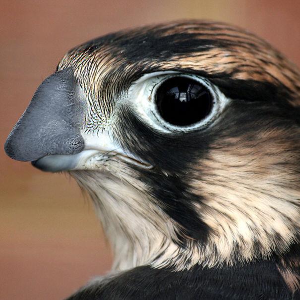 Honker Falcon