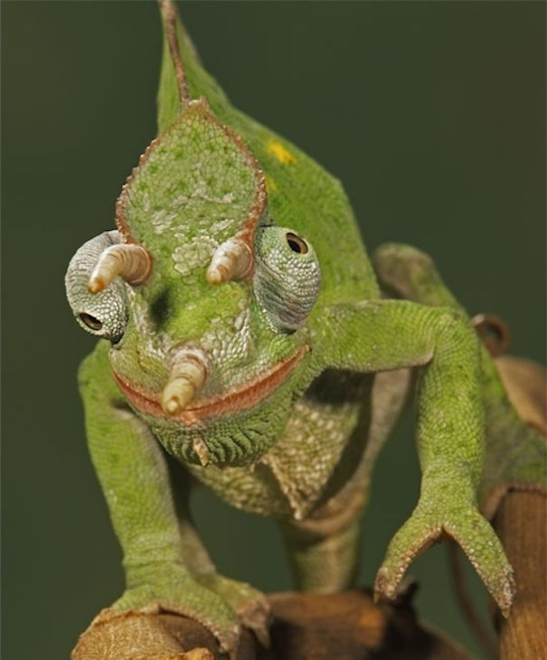 Chameleon Horns: WTF, Evolution?! 10 Animals That Prove Nature Is Out Of