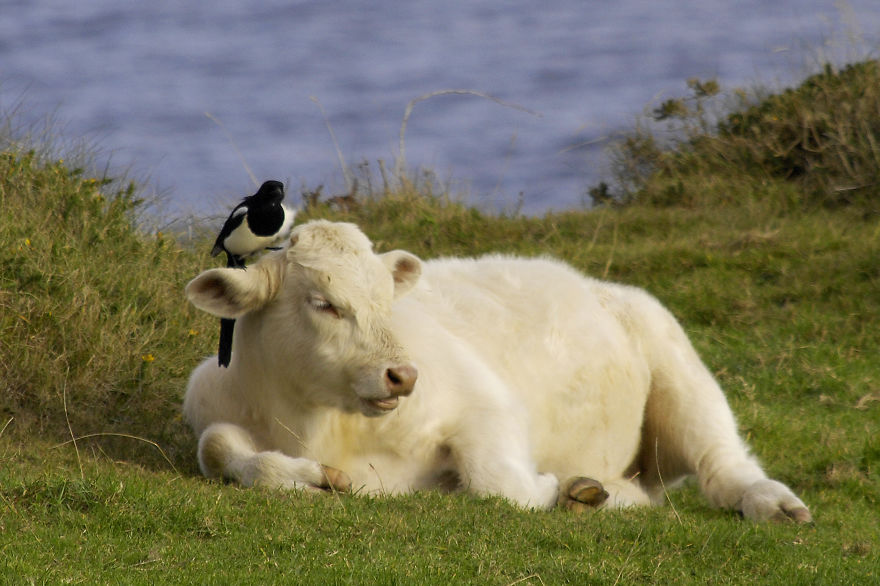 Cow And Magpie
