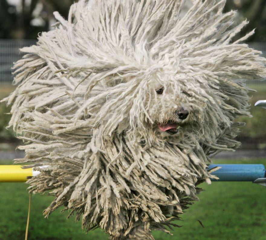 "Komondor ""The Mop"" Dog"