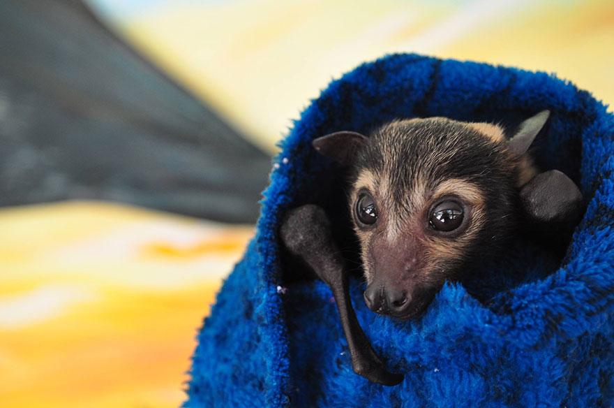 abandoned-baby-bat-pup-tolga-bat-hospital-17
