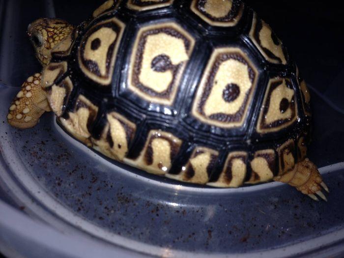 Johnny, The Ac/dc Fan Tortoise