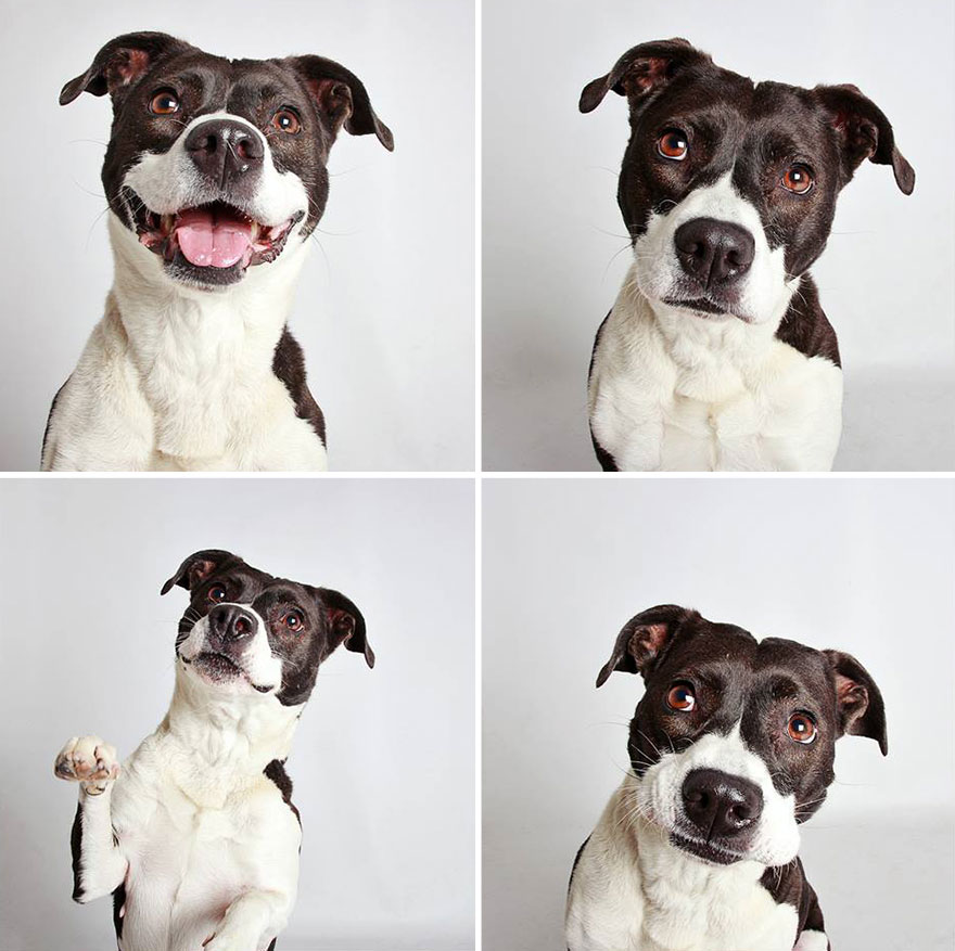 adopted-dog-teton-pitbull-humane-society-utah-14