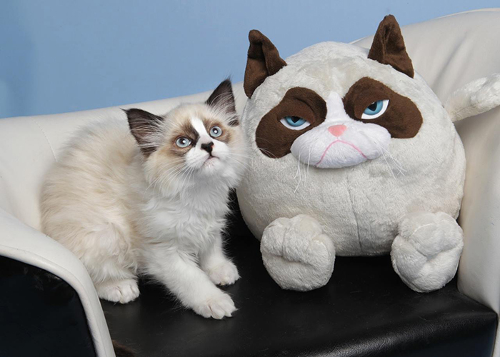 Kitty Looks Like Grumpy Cat's Toy