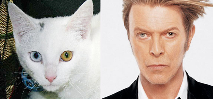 Cat Looks Like David Bowie