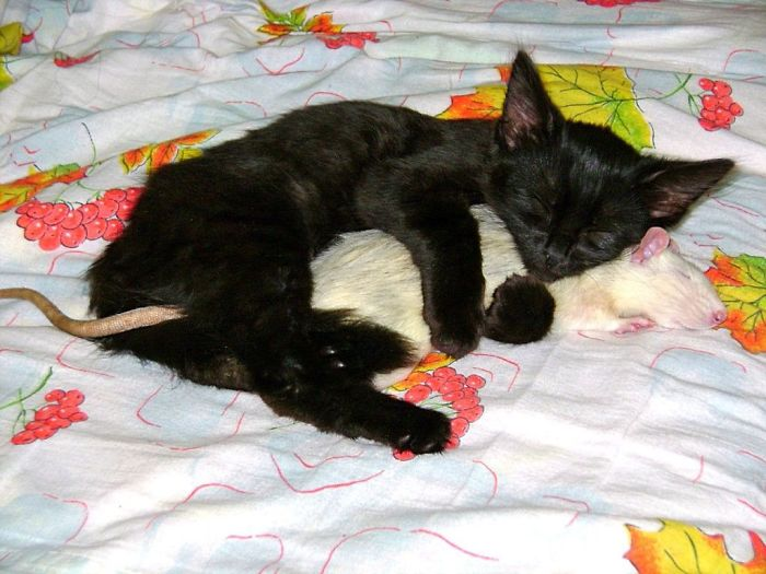 Kitty And A Rat