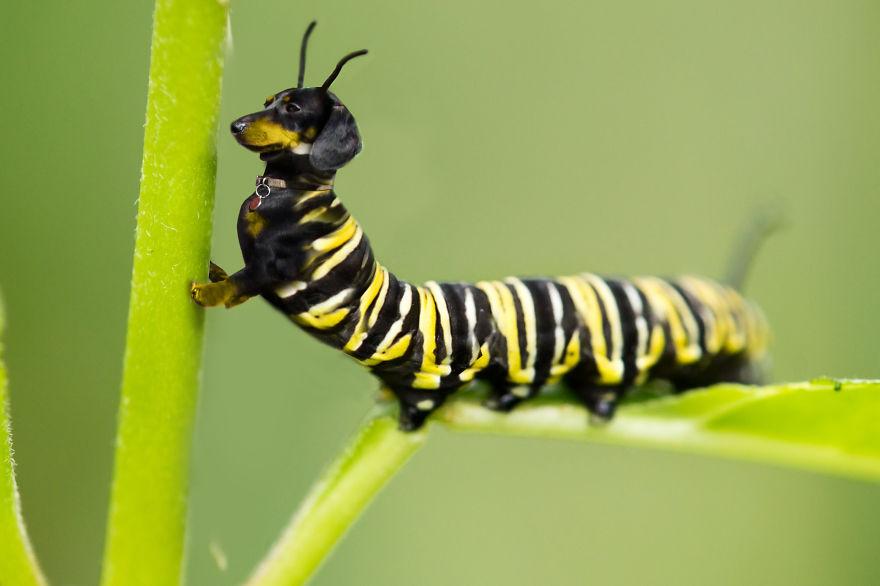 Dachshundapillar
