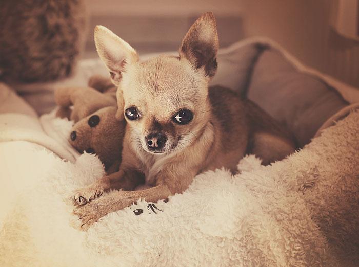 Meet Chloe: My Adorable Mini Chihuahua
