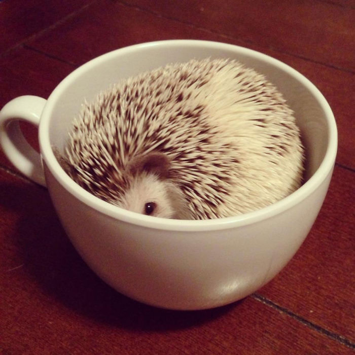 Hedgehog In A Cup