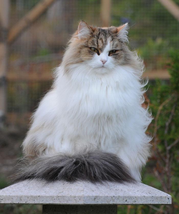 Manekineko Mi-ke, Siberian Cat
