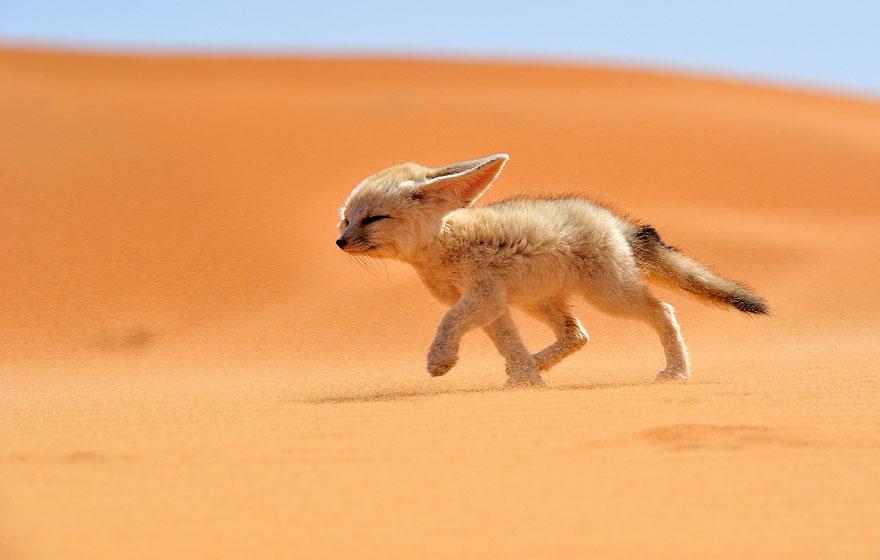 fox-espécies-fotografia-2-1