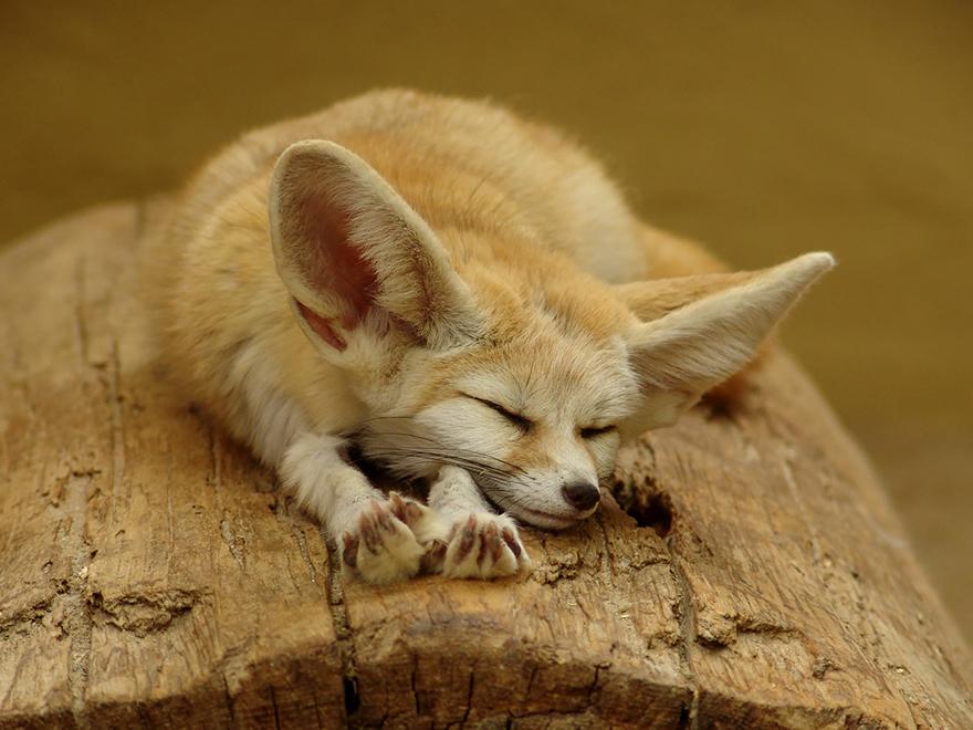 fox-species-photography-2-3