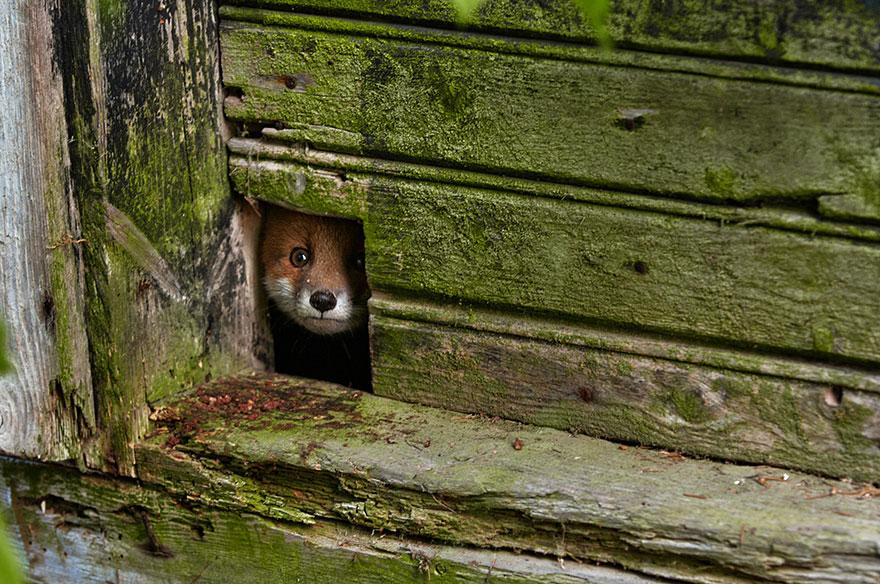 fox-espécies-fotografia-3-2