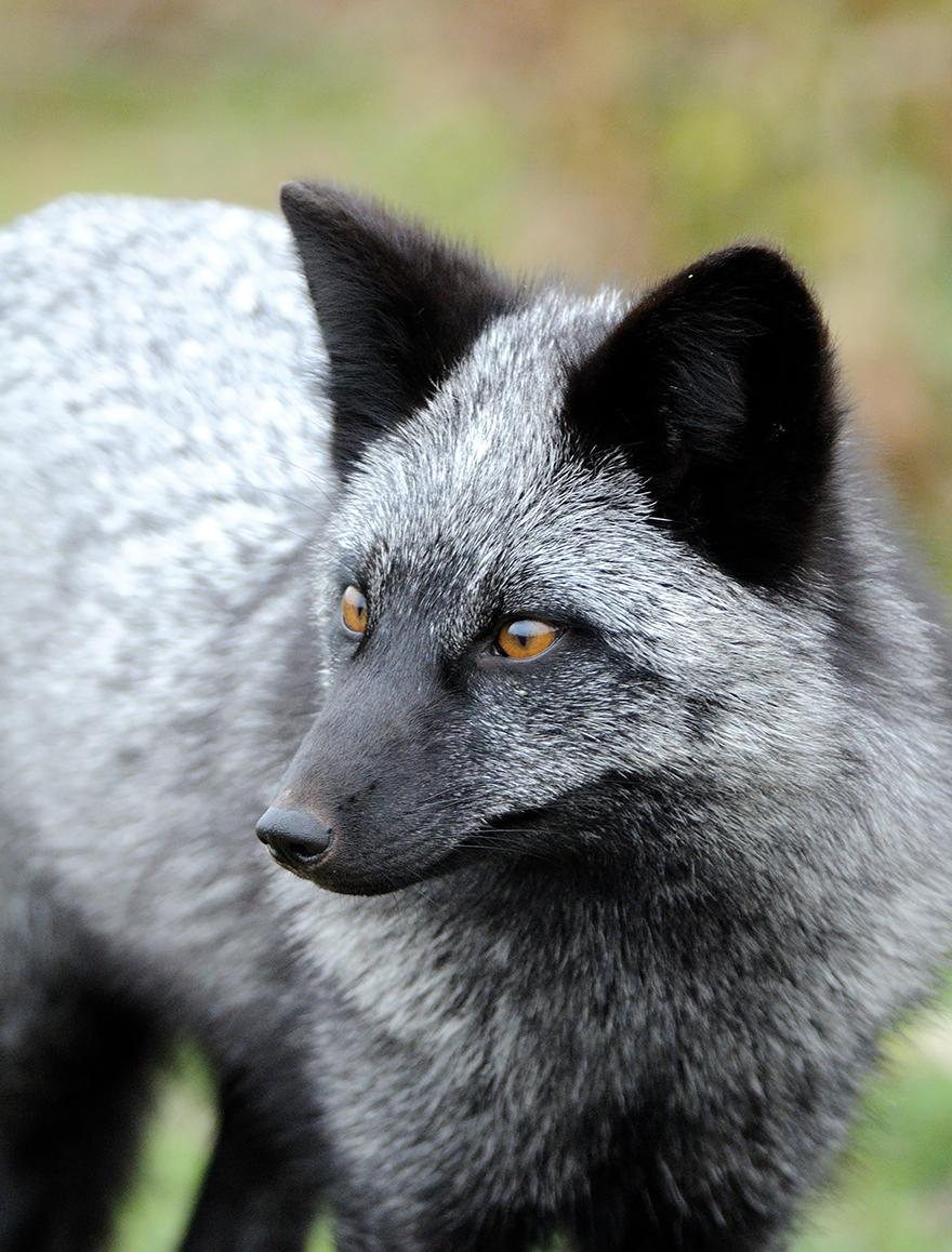 fox-espécies-fotografia-4-2