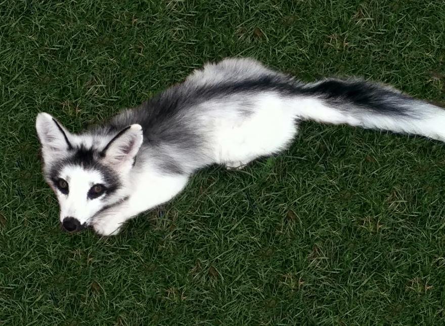 fox-espécies-fotografia-5-2