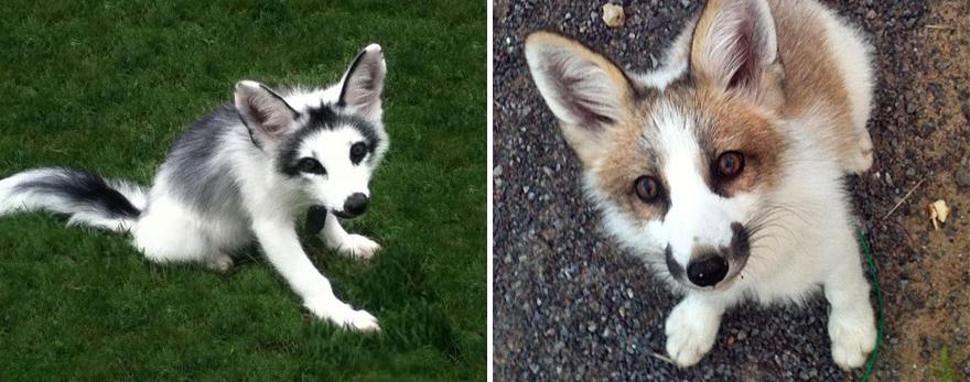 fox-espécies-fotografia-5-3