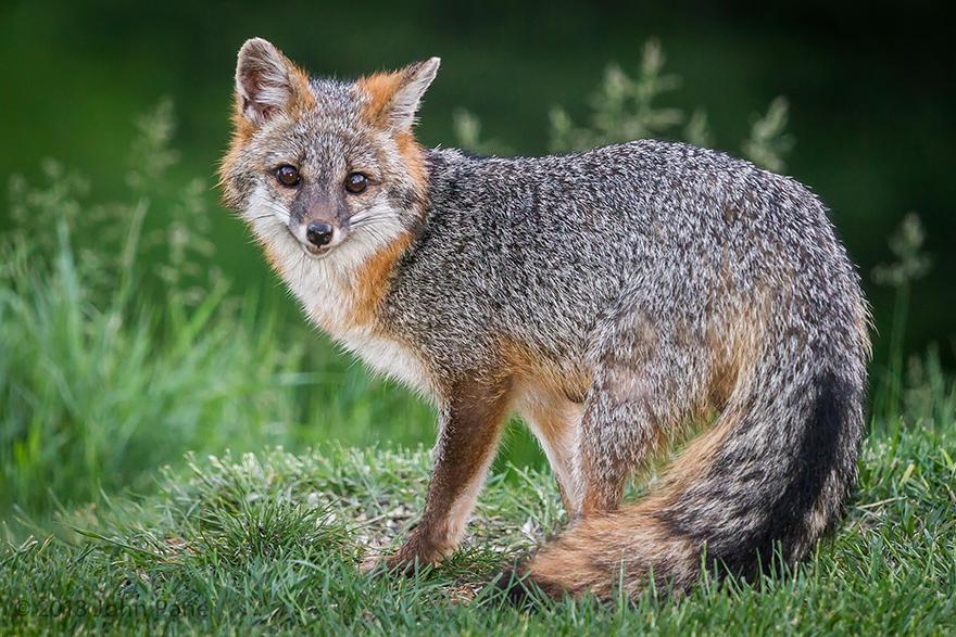 fox-espécies-fotografia-6-1