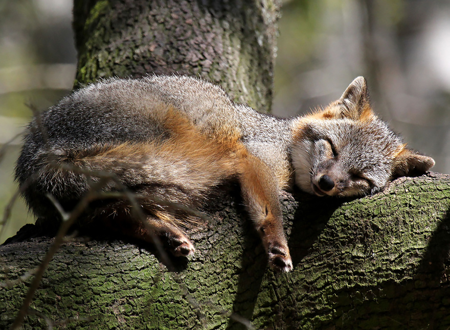 fox-espécies-fotografia-6-3