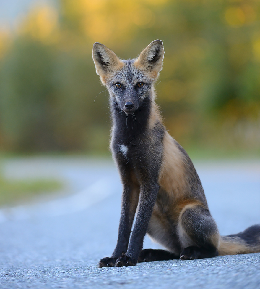 7 Of The Most Beautiful Fox Species In The World | Bored Panda
