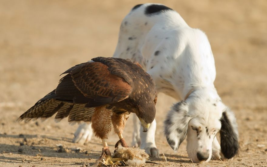 Hawk And Dog