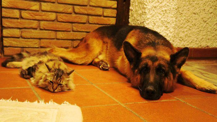 Shepherd Dog And Cat