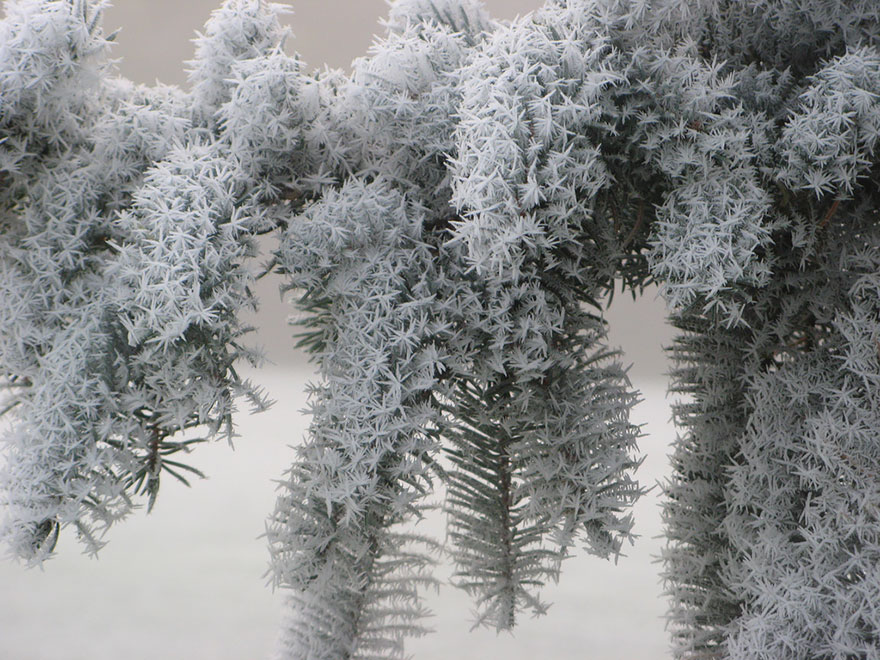 http://www.boredpanda.com/frosted-pine/