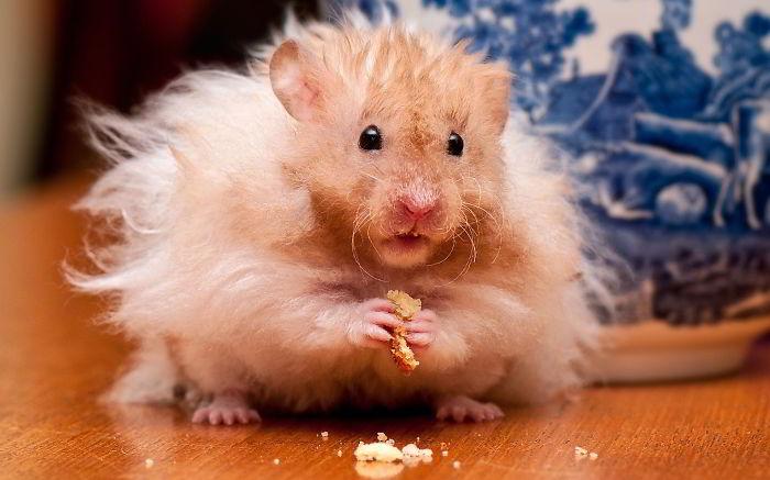 Hairy Hamster