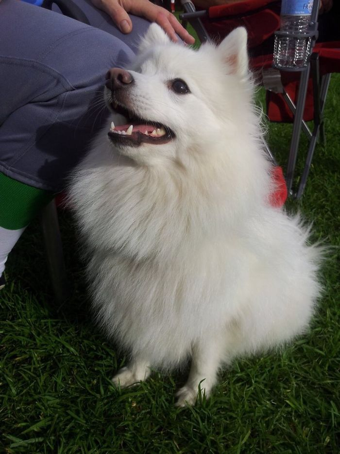 My Molly, Japanese Spitz