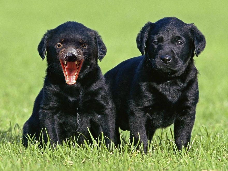 Tasmanian Labradors